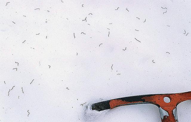 Mesenchytraeus solifugus-- Iceworms